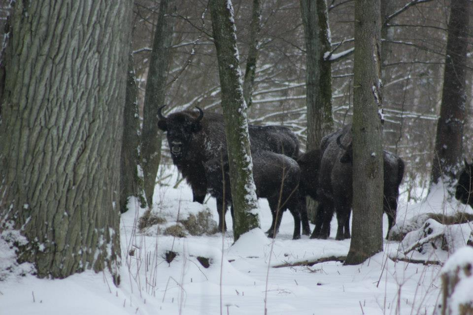 Żubry w lesie i śnieg